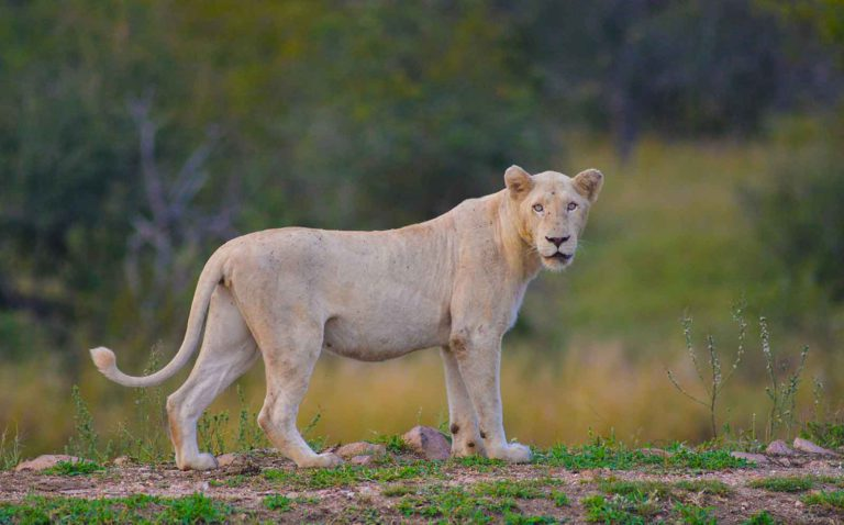 White Lioness - Image : Kevin MacLaughlin