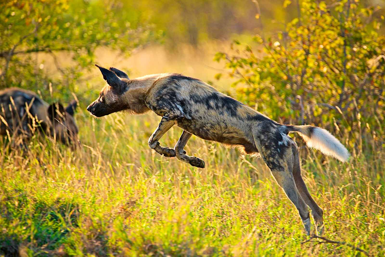 Wild Dog Leaping - Image : Shannon Benson