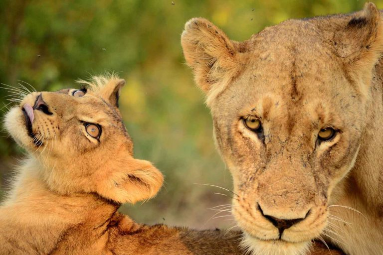 Lioness and Cub - Image : Darryn Murray