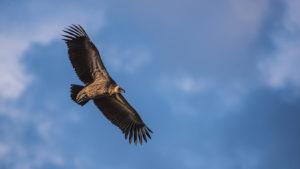 White-backed Vulture - Image : Kevin MacLaughlin